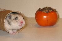 redemateriale til hamster
